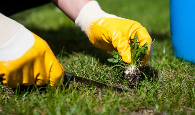 How to remove lawn weeds